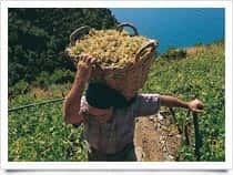 Cinque Terre - Produzione Vino - Cantina, a Groppo / Riomaggiore