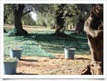 Azienda Agricola Cinque Colli - Produzione Olio Extravergine di Oliva, a <span class=&#39;notranslate&#39;>Chiaramonte Gulfi</span> (Sicilia)