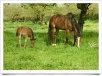 Cavalli Sportivi di Sardegna - Centro Equestre La Folgore - Centro Equestre - Allevamento Cavalli a localit� Mont Tundu / Bonorva (Italia)