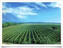 Tenute Sella &amp; Mosca - Azienda vinicola, a <span class=&#39;notranslate&#39;>Alghero</span> (Sardegna)