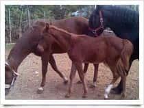 Cavallo Goloso - Maneggio, Escursioni a Cavallo a Giovi Montena / Salerno (Campania)