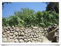 Agricola San Domenico - Azienda vinicola, a <span class=&#39;notranslate&#39;>Forio</span> (Isola d&#39;Ischia)