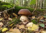 Sagra del Fungo Porcino - La cucina, i prodotti tipici, musica popolare e balli, e tante specialità ai funghi porcini, a Bagnara / Sant'Angelo a Cupolo (Campania)